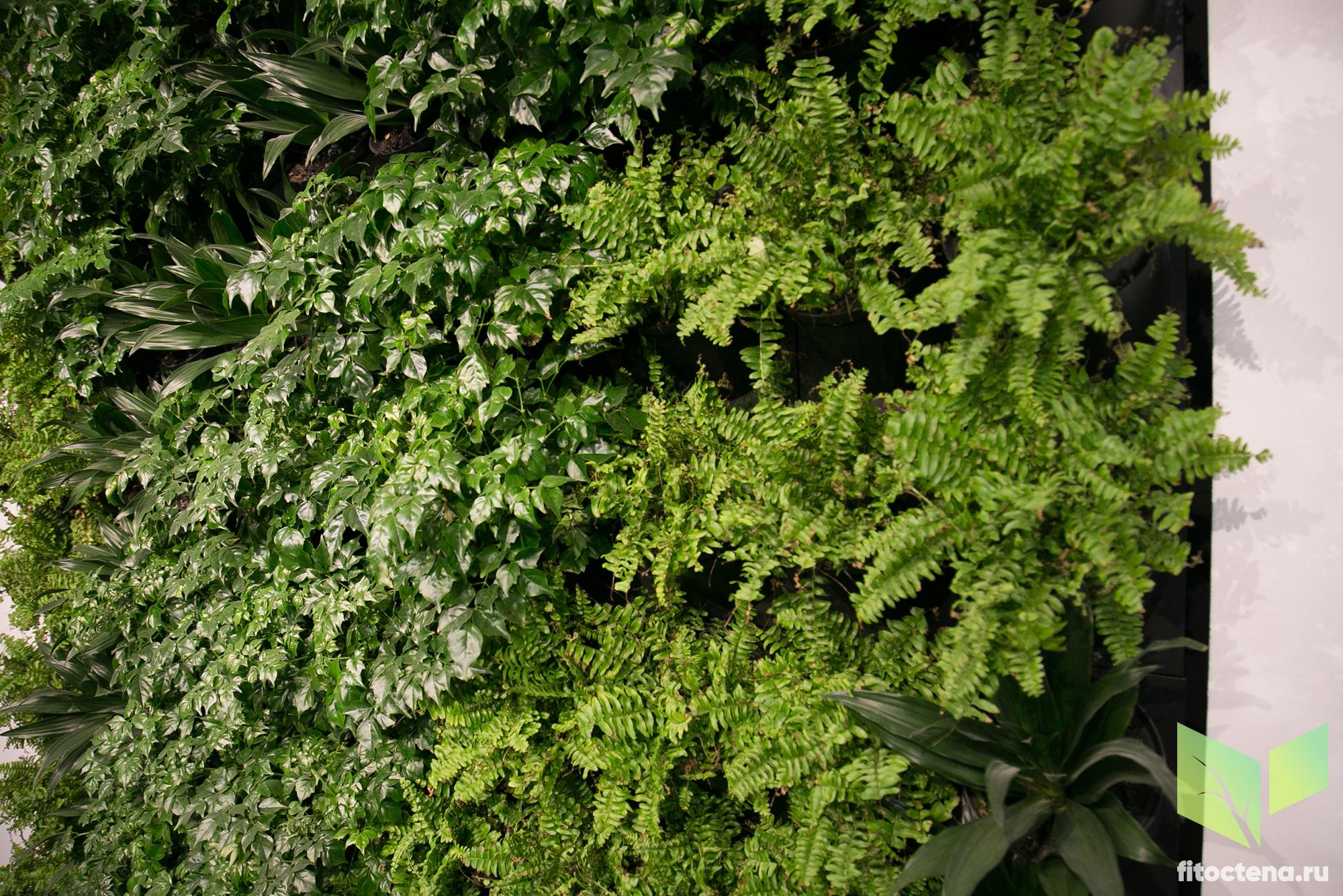 Вертикальное озеленение. Фитостена в ресторане Блинов (Санкт-Петербург, Невский проспект)