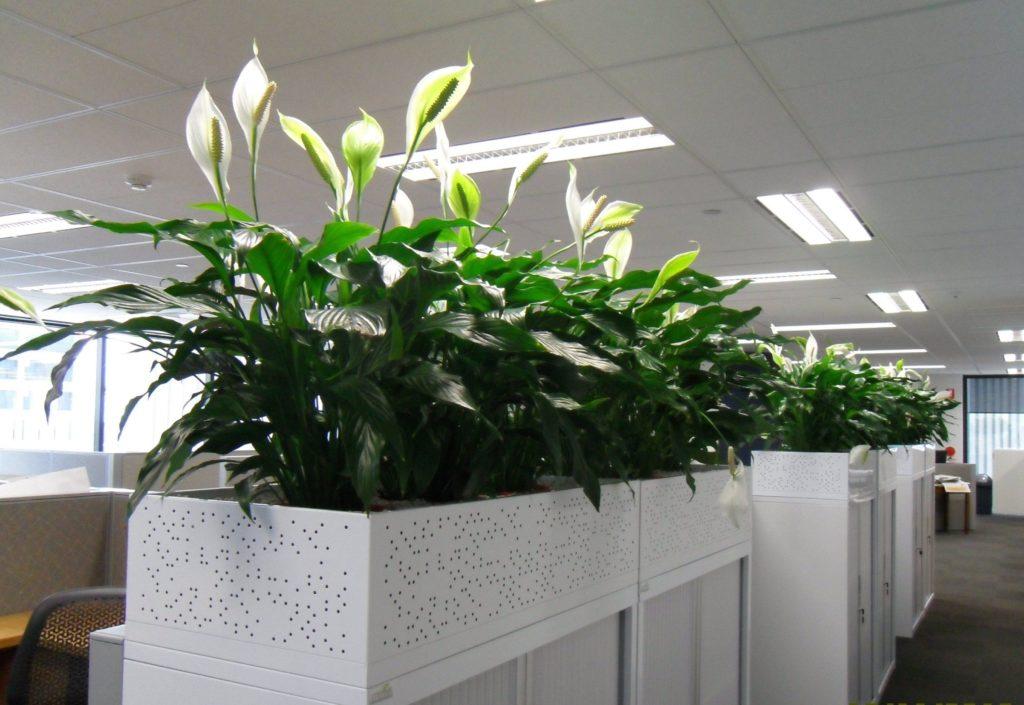Озеленение офиса. Спатифиллум. Кашпо с автополивом